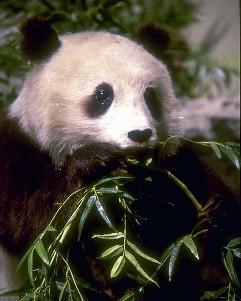 Реферат на тему Панда или бамбуковый медведь